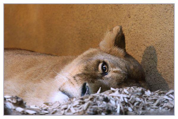 Einäugiger Löwe