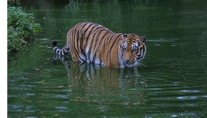 Einäugiger Tiger