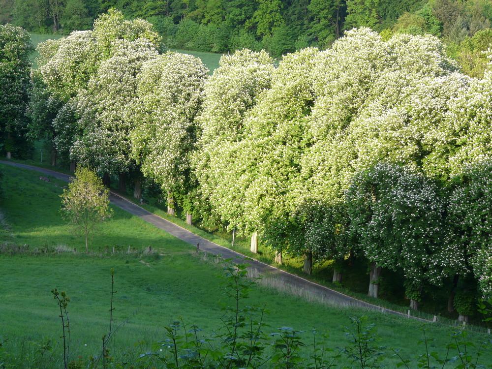 Einbecker Kastanienallee in Blüte