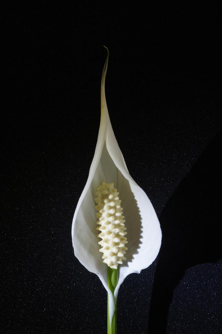 Einblatt in voller Blüte