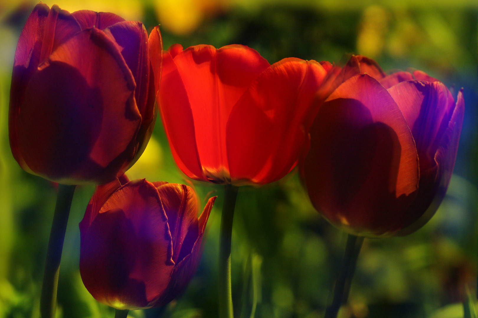 Einblick Tulpen lila (original)