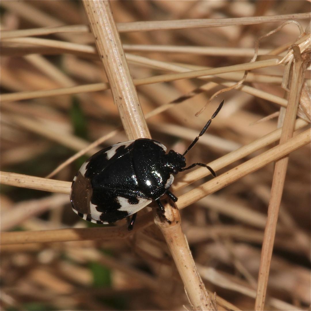 """Eine 6-7 mm große Erdwanze: Tritomegas bicolor (dei """"Zweifarbige"""") als zweite Art 2013 . . ."""