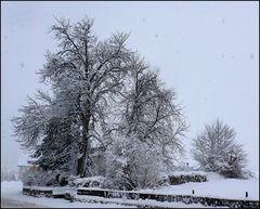 Eine alte Kastanie im Schnee...