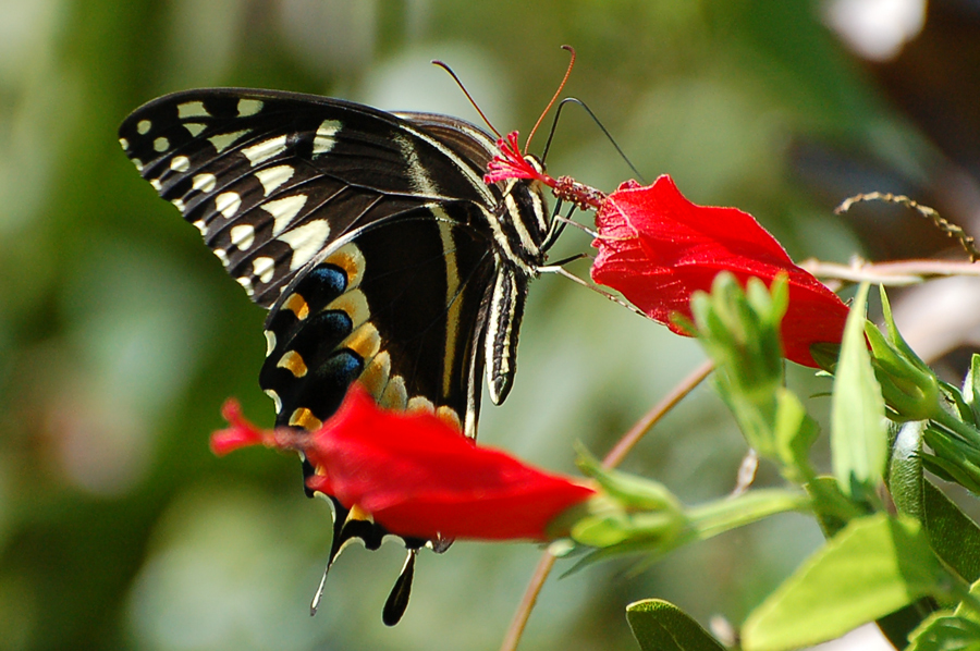 Eine amerikanische Papilio Art...