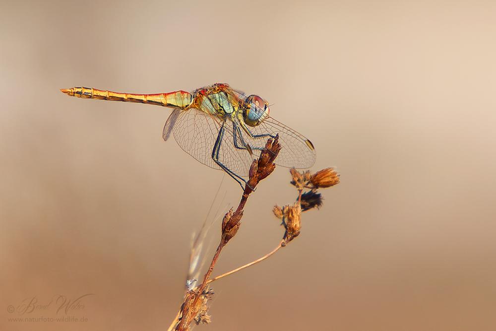 Eine andalusische Libelle