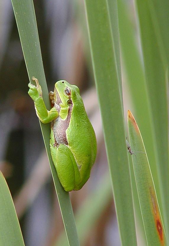 Eine andere Art Frosch ...