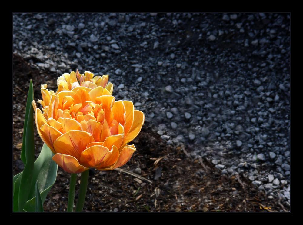 Eine andere Tulpe