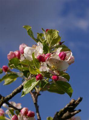 Eine Apfelblüte...