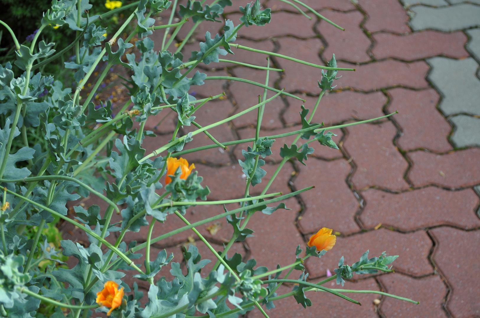 Eine Art des Kalifornischen Mohns dessen Samen alles andere wie gewohnt aussieht