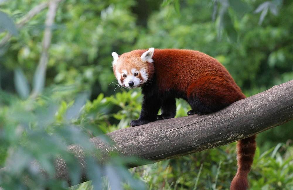 Eine Art Pandabär