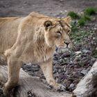 Eine aufmerksame Löwin