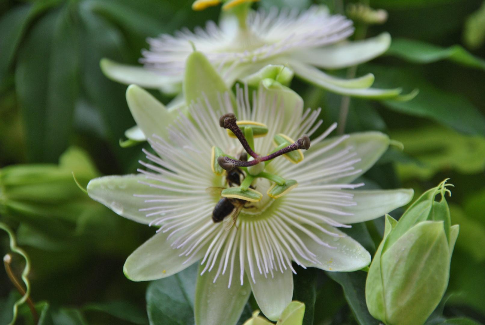 Eine ausserordentlich schöne Blumenart ergibt sich dem Betrachter