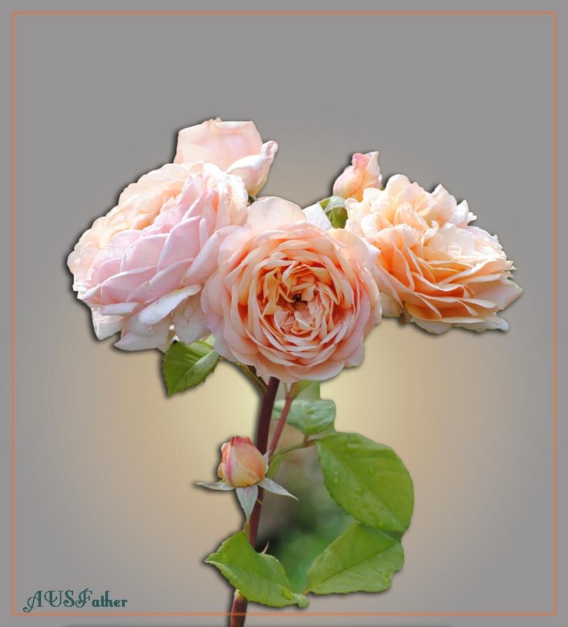 Eine Austin- Rose