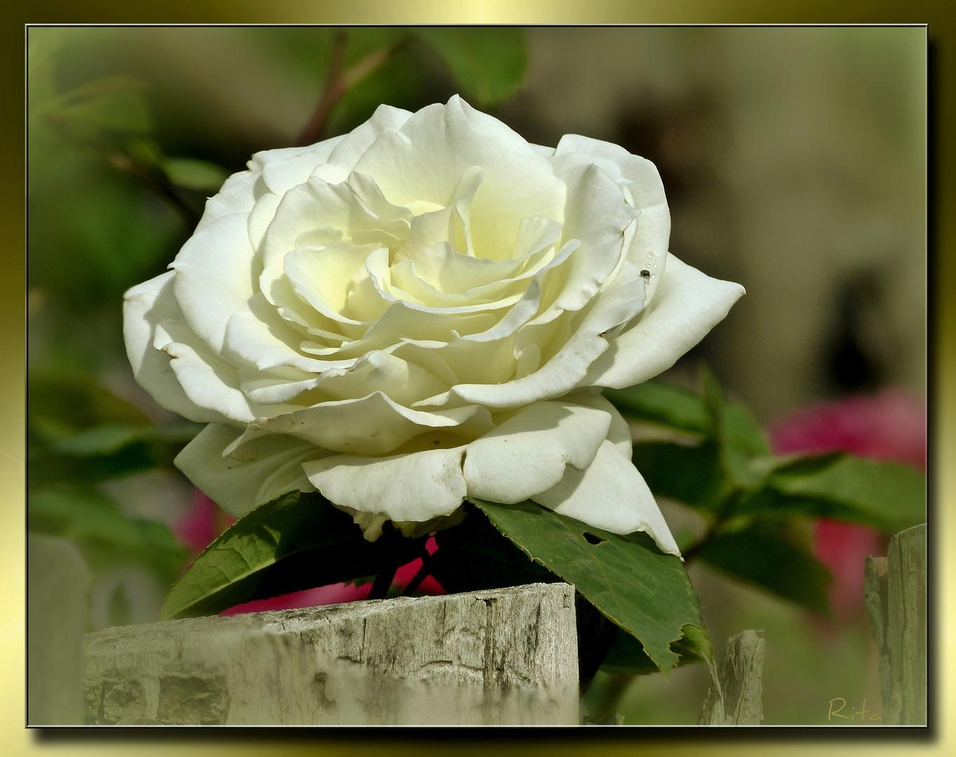 eine Bauern-Rose...
