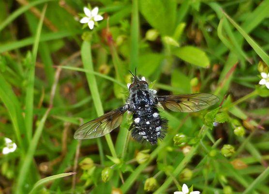 eine besondere Fliege...