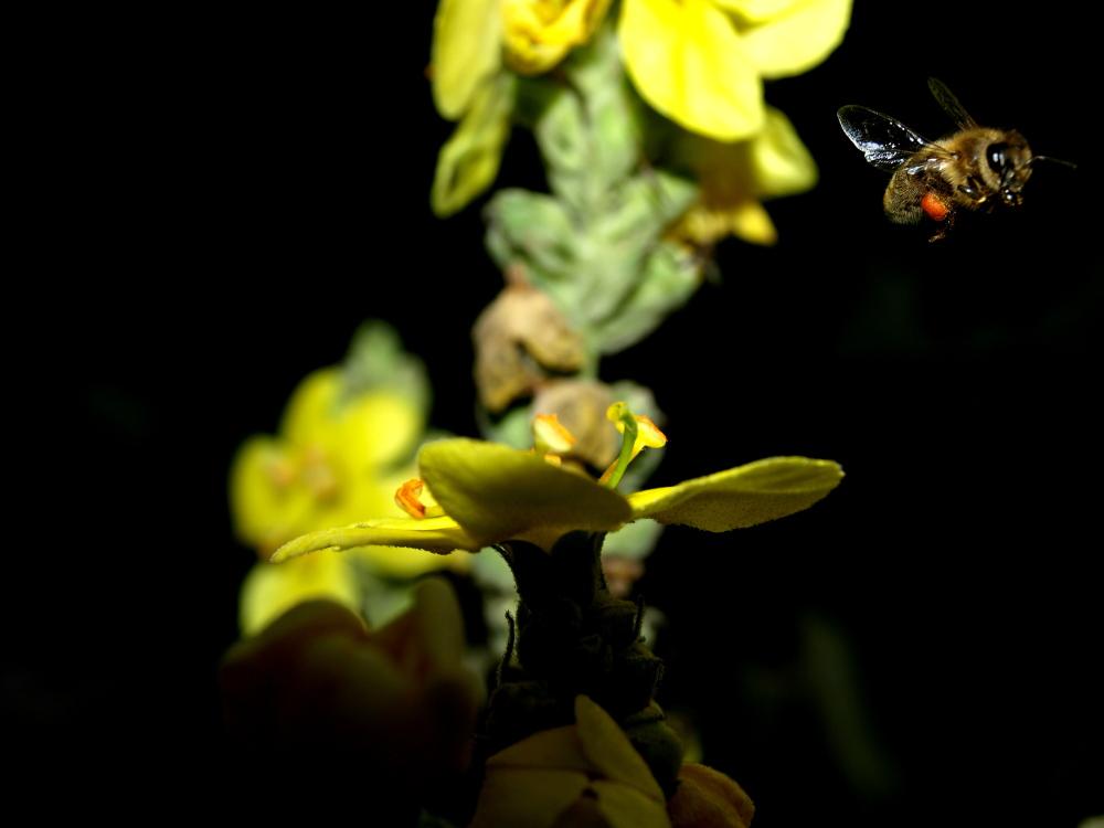 Eine Biene auf der Suche nach Blütenstaub