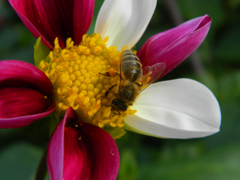 Eine Biene auf einer Dahlienblüte