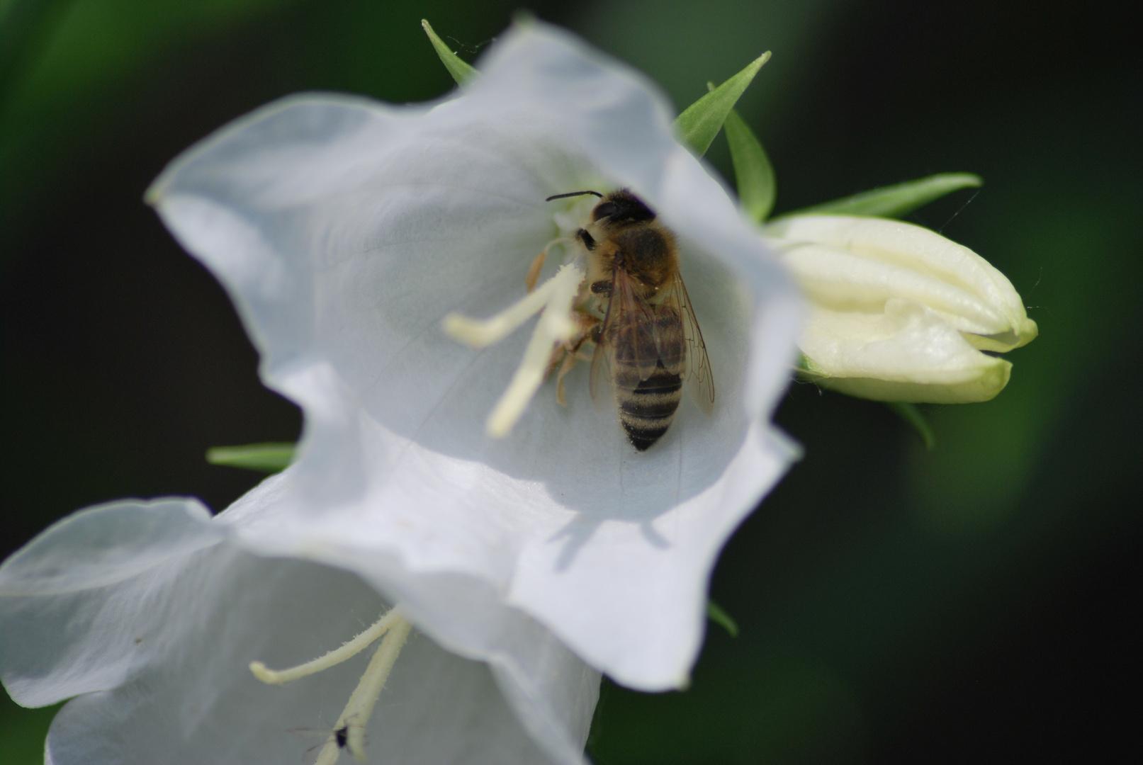 Eine Biene bei der Arbeit