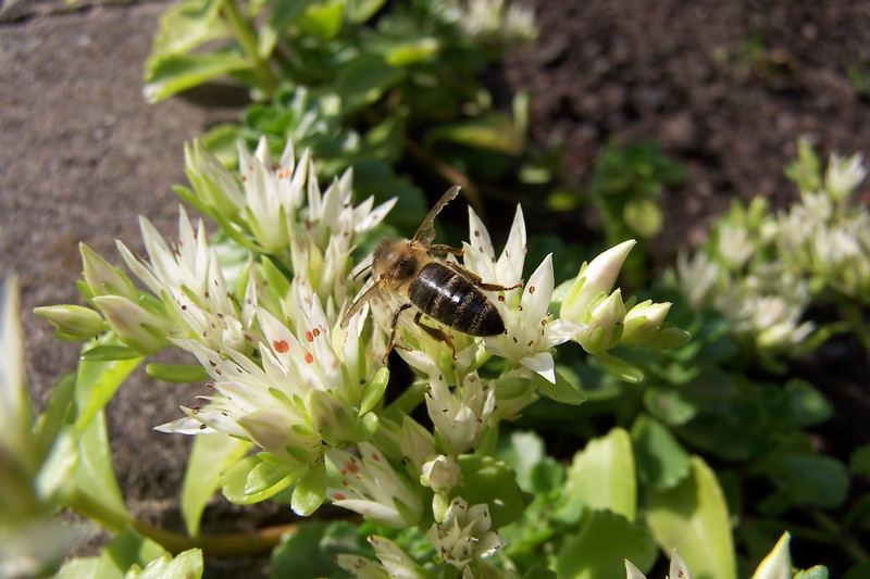 Eine Biene beim Frühstück