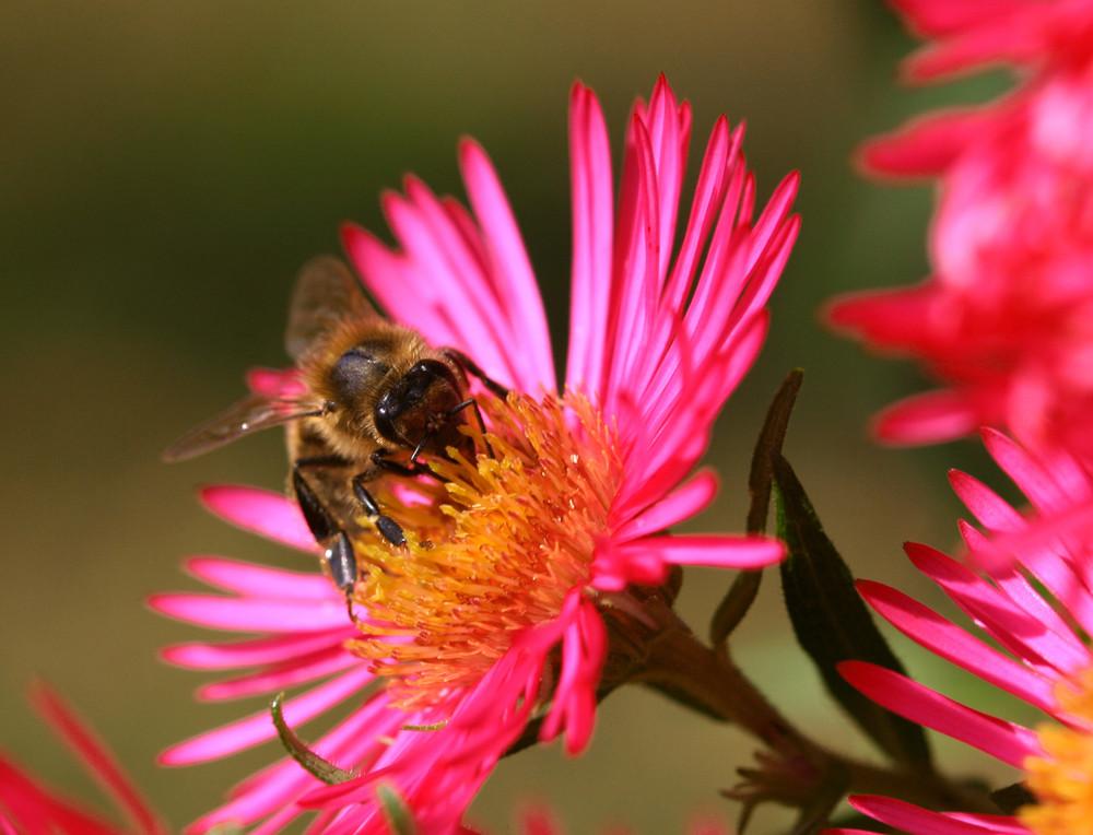 Eine Biene bereitet sich auf die Winterszeit vor