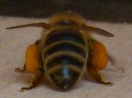 Eine Biene bringt Pollen heim