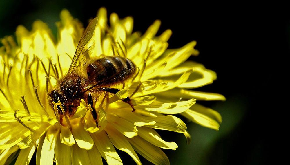 Eine Biene im Löwenzahn