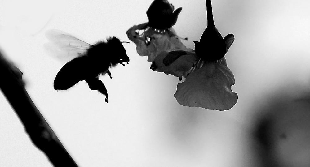 Eine Biene in Schwarz Weiß