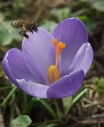 eine Bienengeschichte in vier Bildern (Bild 1 - das Anpirschen)