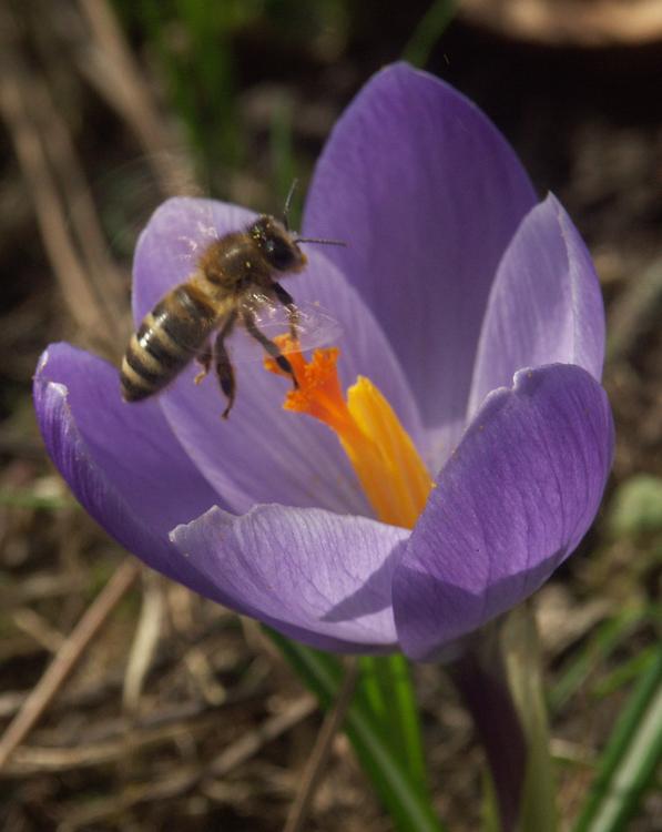 eine Bienengeschichte in vier Bildern (Bild 2 - der Anflug)