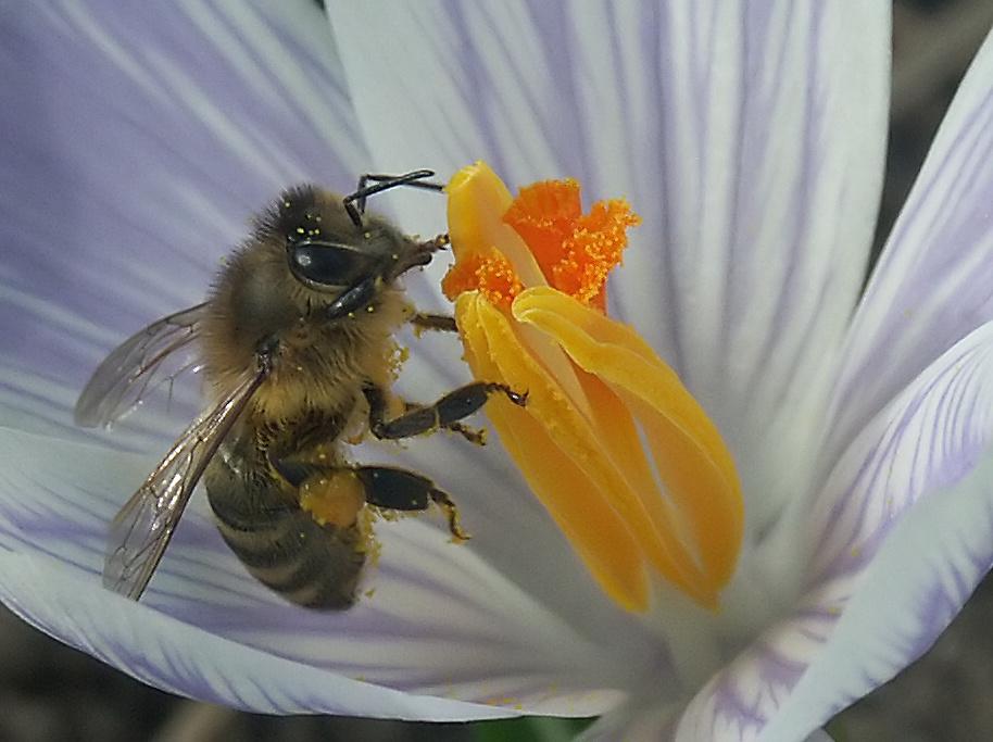 eine Bienengeschichte in vier Bildern (Bild 4 - das Absahnen)