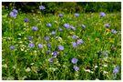- Eine Bienenwiese - von Wolfgang Zerbst - Naturfoto