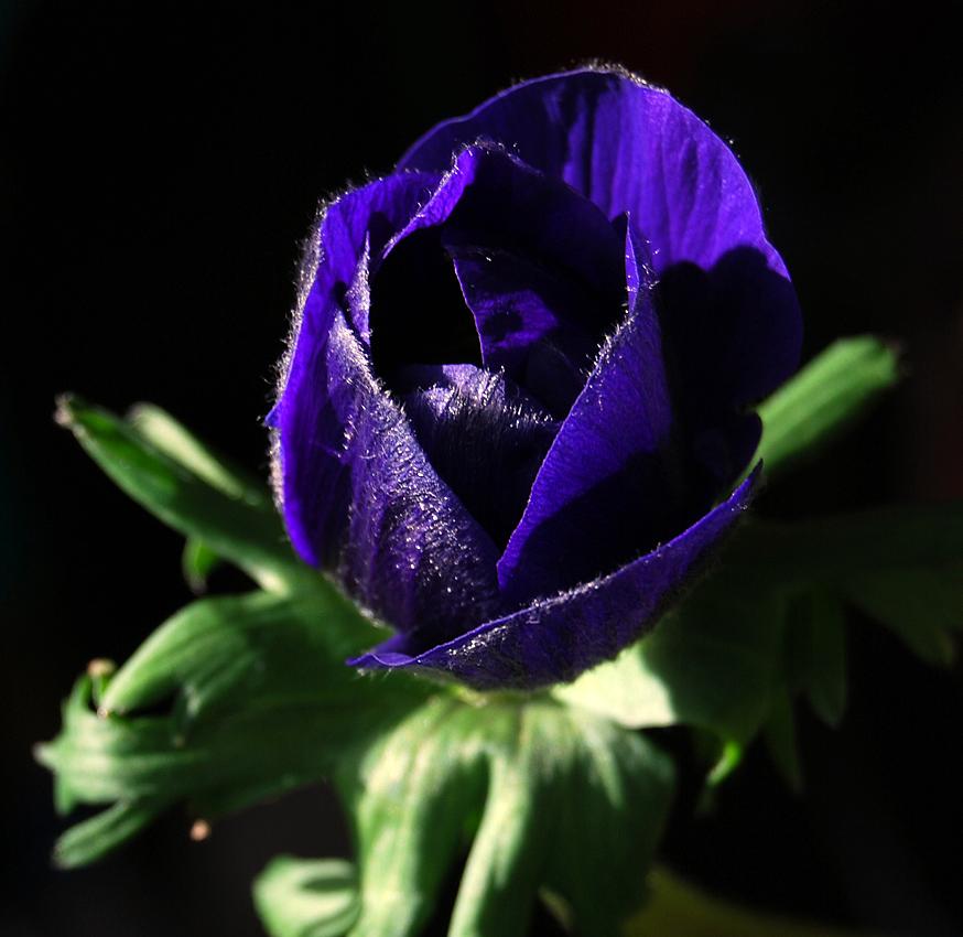 eine blaue Anemone