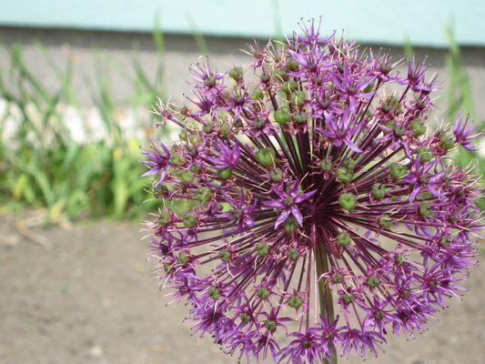 Eine Blüte im Vorgarten