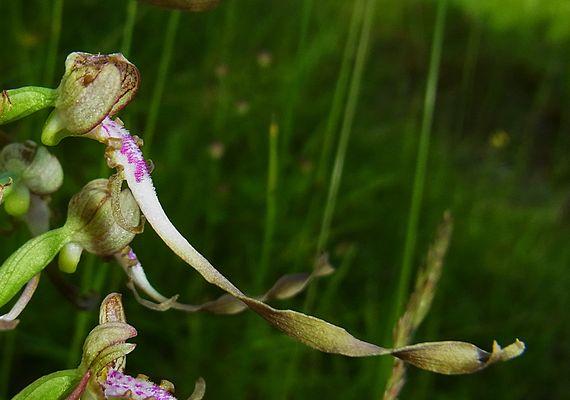 eine Blüte von der Seite