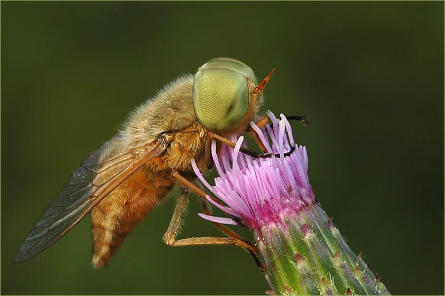 "eine Bremse namens "" Atylotus rusticus"""