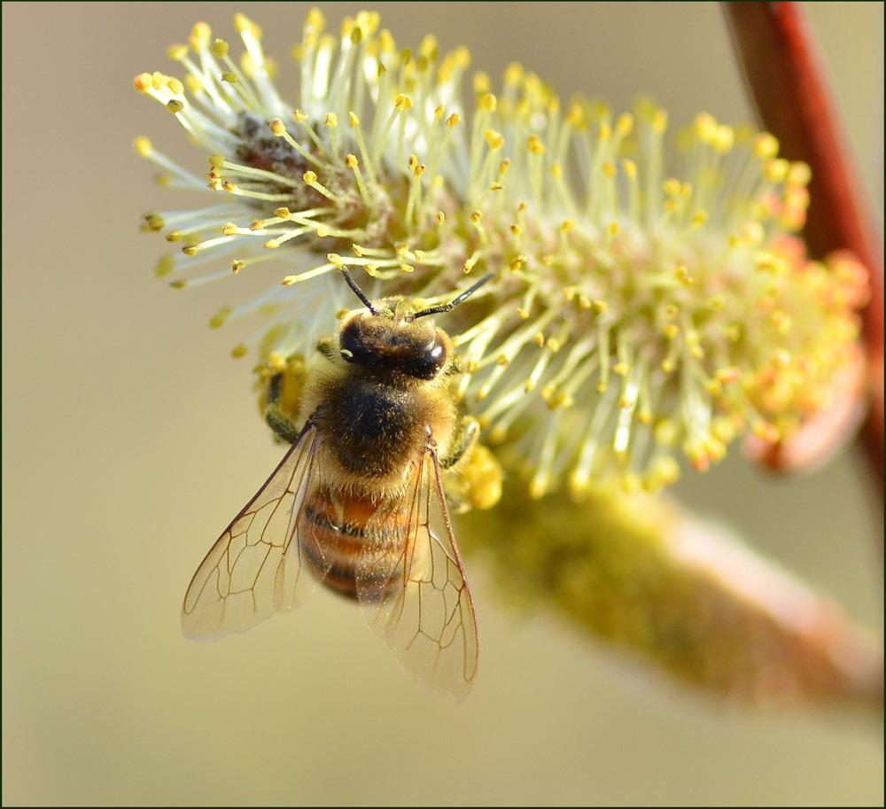 Eine bunte Art der Honigbiene  2