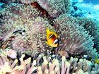 Eine bunte Fischart der Clownfische