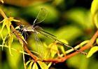 Eine bunte Libelle