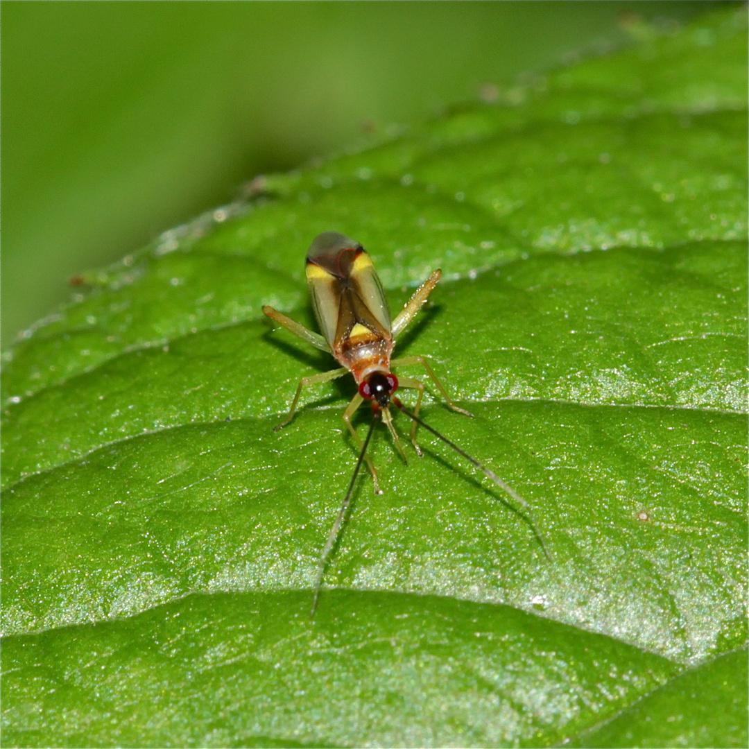 Eine bunte Vertreterin der Weichwanzen (Fam. Myridae*): CAMPYLONEURA VIRGULA