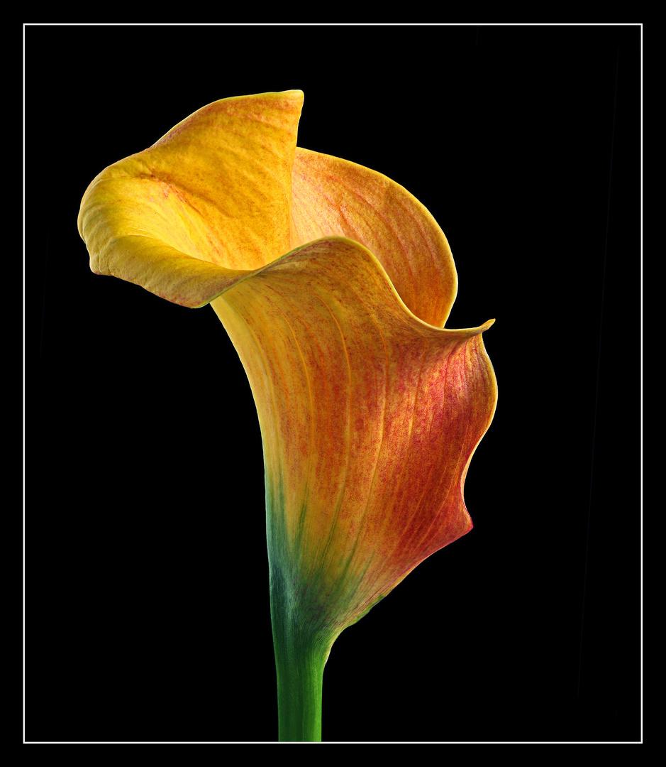 Eine Calla sieht auch in einem farbigem Kleid immer noch sehr elegant aus