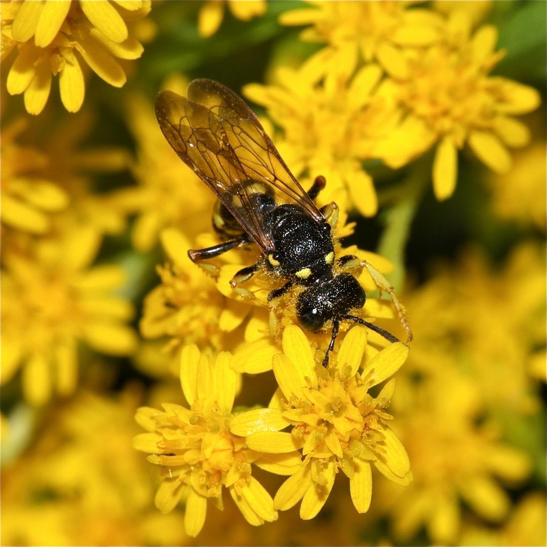 Eine CERCERIS-GRABWESPE beim Pollenfressen auf einer Goldrute