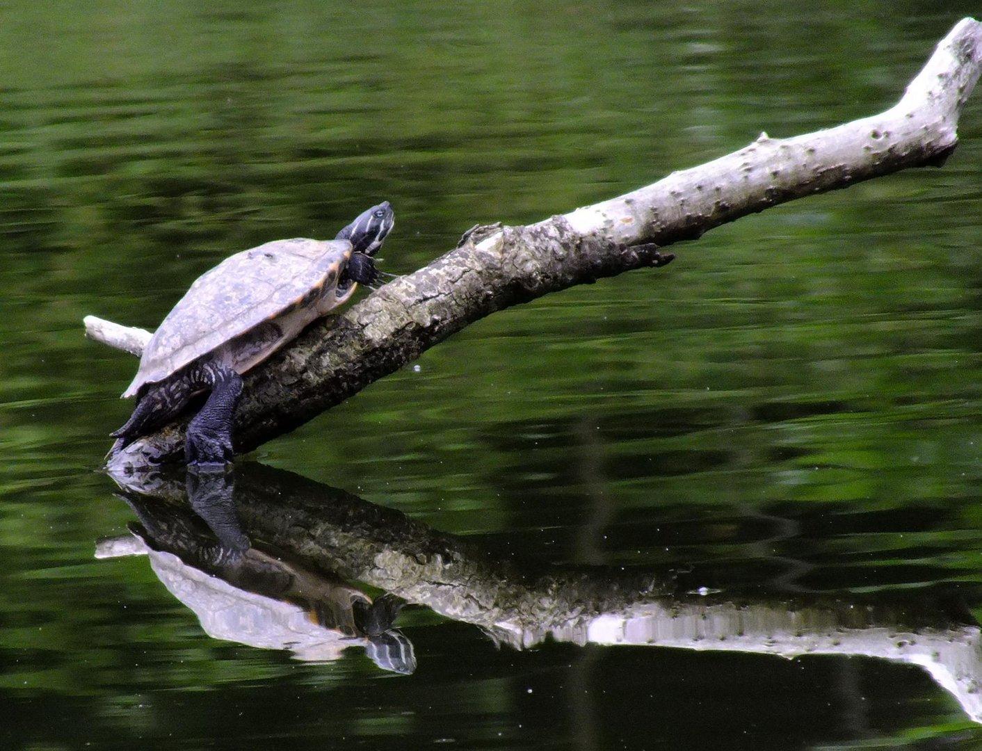 eine chillkröte