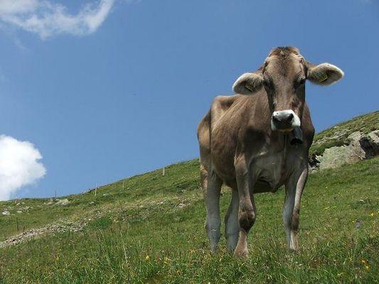 Eine coole Kuh