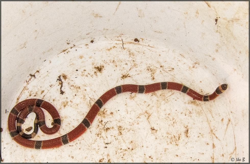 Eine der giftigsten Schlangen weltweit!!!