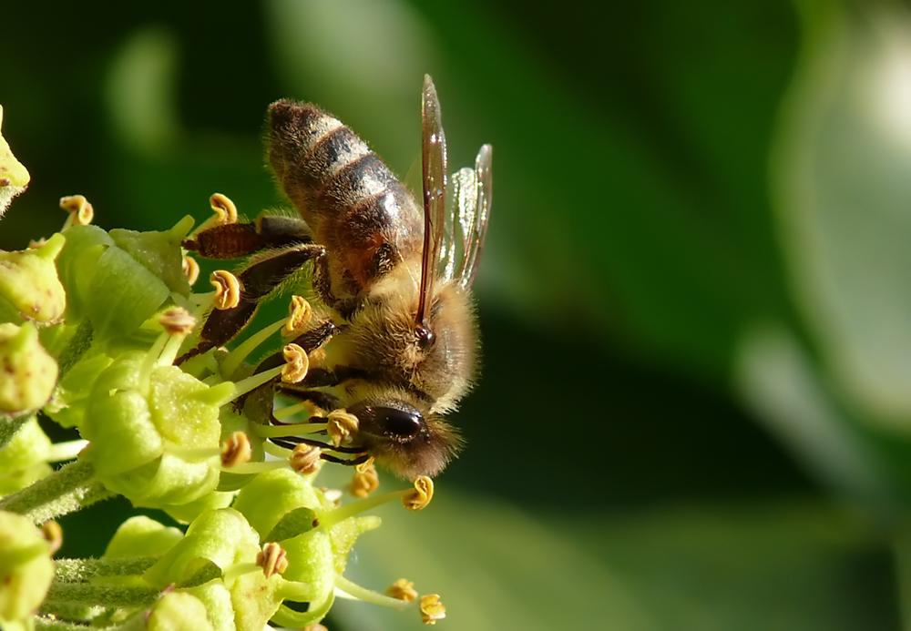 Eine der letzten Bienen beim Nektarsammeln