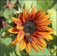 Eine der letzten Sonnenblumen ...