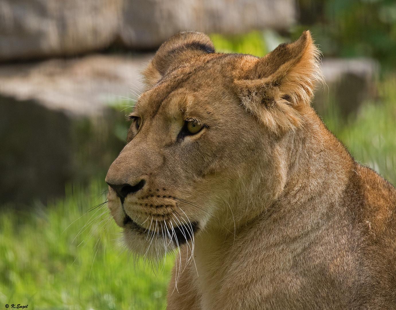 Eine der neuen Löwen Damen !