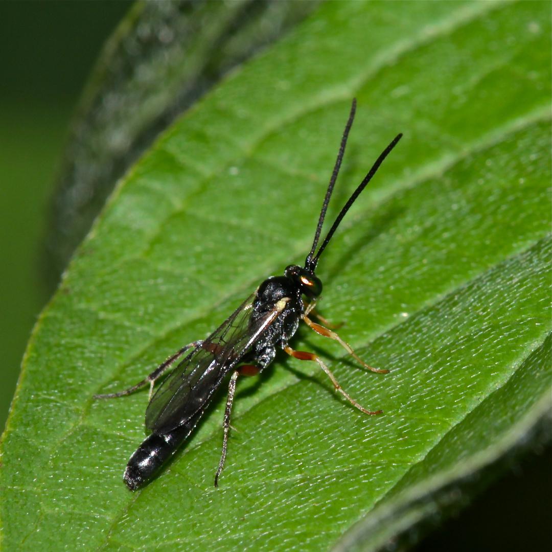 Eine der über 4000 Arten von Schlupfwespen (Ichneumonidae) Mitteleuropas