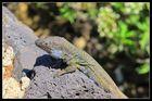 Eine der unzähligen Eidechsen auf Teneriffa
