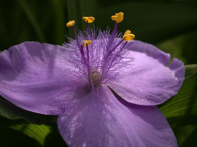 Eine Dreimasterblume aus unserem Garten